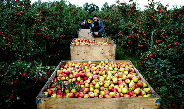 Napton Cidery apple orchard